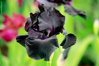 Iris 'Black Suited' - as black as a flower can get? Photographed at the Chelsea Flower Show, London.