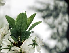 leaves (aniribe) Tags: leaf leaves nikon white color light green nature tree spring beauty macro closeup creative