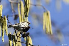 20180225_Paris_Tarin des aulnes (thadeus72) Tags: aves birds carduelisspinus eurasiansiskin fringillidae fringillidés oiseaux passériformes tarindesaulnes