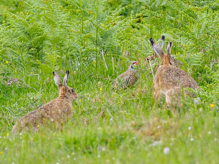 Brown Hare Leverets (Lepus europaeus) +1