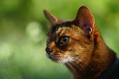Backlit on the meadow (DizzieMizzieLizzie) Tags: abyssinian aby lizzie dizziemizzielizzie portrait cat feline gato gatto katt katze kot meow pisica sony neko gatos chat a6500 zeiss fe 55mm f18 za ilce6500 ilce sel55f18z sonnar 2018 bokeh pet animal dof green meadow