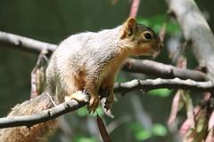 Squirrels in Ann Arbor at the University of Michigan (June 12th, 2018) (cseeman) Tags: gobluesquirrels squirrels annarbor michigan animal campus universityofmichigan umsquirrels06122018 spring eating peanut juneumsquirrel juveniles juvenilesquirrels