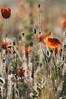 Encore une ... ☺ (Pierrotg2g) Tags: coquelicots poppies fleurs flowers nikon d90 tamron 70200