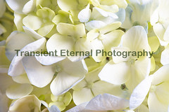 White and Blue Hydrangea Flower Bunch (Transient Eternal) Tags: hydrangea hydrangeaceae flowers blueflowers bouquet nature plant asianplant china japan korea smalltree spring summer blooms buds delicate soft softness colorful petals delicatepetals white blue bunch texture patterns background stamen daylight morninglight decorative yard garden