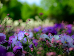 Uniqueness (lparolini) Tags: attention colors flowers focus garden green outdoor uniqueness viola bloom blooming blossom blurred color delicacy elegance field flora floral flower fragility grass macro natural nature petal pink plant plants purple spring summer violet
