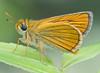 Ochlodes ochraceus 2 (mishko2007) Tags: ochlodesochraceus korea 105mmf28