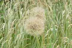Western Salsify, Rainham Marshes (Loz Flowers) Tags: london londonloop londonloopwalktwentyfour rainham westernsalsify