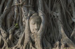Buddhas Kopf im Phobaum