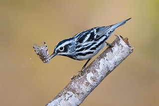 Black-and-White Warbler with Leopard Moth