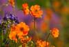 May Colours... (Adam Swaine) Tags: flowers flora gardens londonparks naturelovers nature uk petals colours canon ukcounties england english britain beautiful british macro peckehamryepark orange spring london londonmeadows