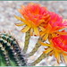 Cactus Flowers are Awesome