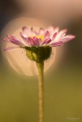 Once on a fairy meadow (Zaphod Beeblebrox 1970) Tags: bokeh lens natur nature flower blume daisy gänseblümchen manual meyer summer trioplan fairy flowers vintage meadow sommer blumen