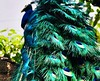 THE PEACOCK (aschwarz12@t-online.de) Tags: nature outside colours farben peacock pfau