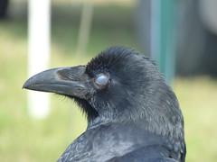 Sleepy Raven (pete Thanks for 5 Million Views) Tags: sleepy raven captive abberton show wickedweasel