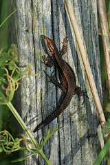 Common Lizard! (RiverCrouchWalker) Tags: lizard commonlizard lacertazootocavivipara viviparouslizard southwoodhamferrers marshfarmcountrypark marshfarm essex june 2018 summer sunbathing