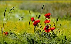Couleurs de printemps (Diegojack) Tags: lisle vaud suisse d7200 fleurs plantes blés coquelicots couleurs printemps