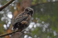 Going out on a limb (Snixy_85) Tags: owlet owl greathornedowl bubovirginianus