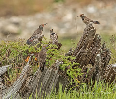 ND5_2102 Four Northern Flickers (Wayne Duke 76) Tags: