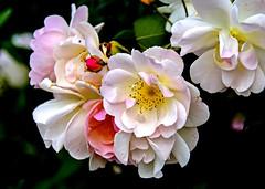 Fleurs d'églantier (Diegojack) Tags: lausanne vaud suisse d7200 plantes fleurs ouchy jardins eglantier