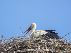 P5310623 (turbok) Tags: tiere vögel weisstorchciconiaciconia wildtiere c kurt krimberger