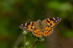 Painted Lady (microwyred) Tags: hartleburycommon wildlife places perching paintedlady butterfly orangecolor