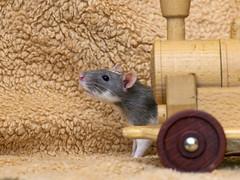 Rat behind the train (Tambako the Jaguar) Tags: rat domestic pet macro wood train props photoshooting rodent cute portrait profil zürich switzerland nikon d5
