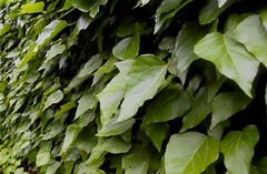 An Hedera wallpaper (Francesco Pesciarelli) Tags: hedera nature portrait green leaves outdoor flickr pesha wallpaper colors large big life downloadable mentionmyname varied collection thoughtful colours