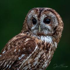Tawny in Daylight-Dusk (Mr F1) Tags: wild tawny owl daylight dusk johnfanning bop birdsofprey wildlife nature outdoors woodland forest birds eyes detail light feathers