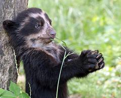 spectacled bear antwerpen BB2A1388 (j.a.kok) Tags: beer bear spectacledbear brilbeer animal antwerpen mammal zoogdier dier baby babybear specanimal specanimalphotooftheday