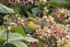 41360 Olive-backed Sunbird (Cinnyris jugularis) juvenile in an urban garden in Ipoh, Perak, Malaysia. IUCN=Least Concern. (K Fletcher & D Baylis) Tags: animal wildlife fauna bird sunbird olivebackedsunbird passerine passeriformes nectariniidae cinnyrisjugularis leastconcern nectar urban garden ipoh perak malaysia asia june2018