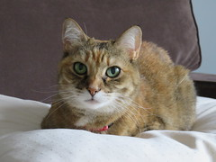 On the Couch (knightbefore_99) Tags: freddie kitty cat gato chat cute feline sweet girl furry eyes smart couch green beauty look love awesome