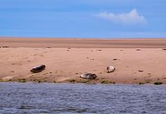 Three seals on the beach (rustyruth1959) Tags: shore animal lowtide northsea sea seaside outdoor tide water sand animals threeseals seals beach coast wellsnextthesea norfolk uk tamron16300mm nikond5600 nikon seaweed sky rocks clouds