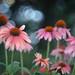 In My Garden - Coneflowers Color Version