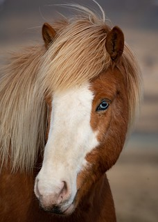 Blue eyed horse of Iceland poses for the camera