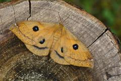 D71_5838A (vkalivoda) Tags: martináč saturniinae martináčbukový agliatau okáňbukový tauemperor nagelfleck hachette somplet kollapaapusilm rudojisaturnija tbetűspávaszem tauvlinder naglespinner lotnicazyska nastakehrääjä nagelspinnare motýl butterfly schmetterling insect macro moth