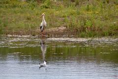 """Storks at """" The Zwin """" (hugomaes1) Tags: stork storks bird birds nationalpark belgium"""