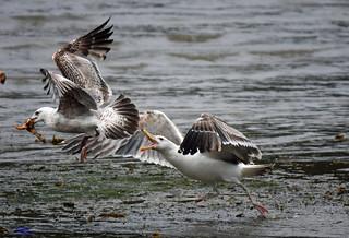 Young Lesser Blackback Gulls.