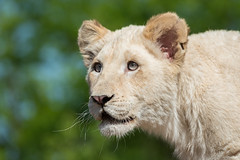 DSC_4553-1 (Linda Smit Wildlife Impressions) Tags: african white lion lioness lioncubs cubs wildlife endangered cats bigcats nature animal carnivore cecil photography nikon d750 big cat mammal zoo damnéville amnéville