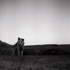 Kuummiit dog (Úlfur Björnsson) Tags: b black white bw greenland trip traveling ilford dusk sunset mamiya kuummiit medium format film c220 80mm f28 sekor hp5 plus iso 400 sled dog hound