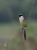 Long-tailed Shrike (ChongBT) Tags: nature natural wild life wildlife animal bird avian hobby watching birdwatching laniusschach lanius schach ornithology malaysia long tailed shrike adult male breeding plumage