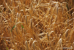 Пшениця, жито, овес InterNetri  Ukraine 046