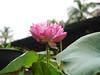 Sacred Lotus 'Thailand Red Paradise1' บัวหลวง 'ไทยแลนด์ เรดพาราไดส์ 1' 7 (Klong15 Waterlily) Tags: thailandredparadise1 lotus redlotus sacredlotus nelumbonucifera บัวหลวง บัว ดอกบัว บัวไหว้พระ ไทยแลนด์เรดพาราไดส์ บ้านและสวน ดอกไม้