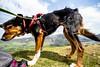 Windblown Kiri (allybeag) Tags: lowfell kiri dog windy windblown fur hair