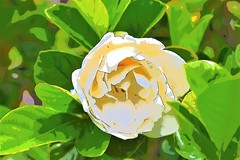 Big gardenia (thomasgorman1) Tags: white gardenia hawaii hamakua effects colors colorized processed enhanced nikon nature closeup pretty outdoors island