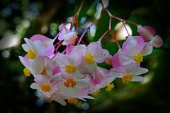 "Pink Beauty! Angel Wing Begonia! (Uhlenhorst) Tags: 2018 australia australien plants pflanzen flowers blumen blossoms blüten travel reisen ""doublefantasy"""