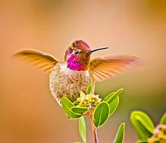 Over here Girls. (Omygodtom) Tags: bright bird annashummingbird nature wildlife contrast colours nikon dof d7100 nikon70300mmvrlens usgs