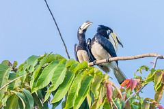 hornbill (EdgarJi) Tags: singapore sungeibulohwetlandreserve animal nature wild bird