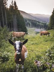 Curious Goat (Marc Bremus) Tags: fluss grün schwarzwald urlaub wald goat bell cow forest wildlife nature sunset sunrise curious animal gras foggy hills