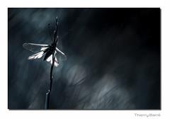 Asca M13 Rt Bd Sg Rd1 IMG_4648 (thierrybarre) Tags: bokeh ambiance bleu nuit noir papillon ascalaphe proxyphoto
