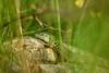 Green lizard. (agnieszka.a.morawska) Tags: green bkhq beyondbokeh bokehlicious bokeh dof nature helios helios44m meadow animal lizard